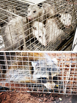 animal capture,capture animals,trap animals,animal traps,trapping animals,catching animals,New York,Syracuse,NY,Animal Control CNY, animal control company, control animals,squirrels,bats,raccoons,bees,skunks,possums,mice,rats,snakes